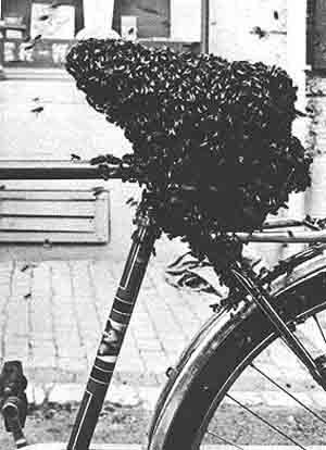 oppenheim-unt-bee-swarm-foto-1977.jpg